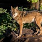 Wolf im Wildgehegen Moritzburg