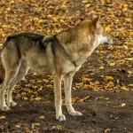 Wolf im Moritzburger Wildgehege